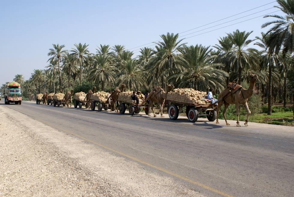 Camel carts carrying bricks from the Kilns