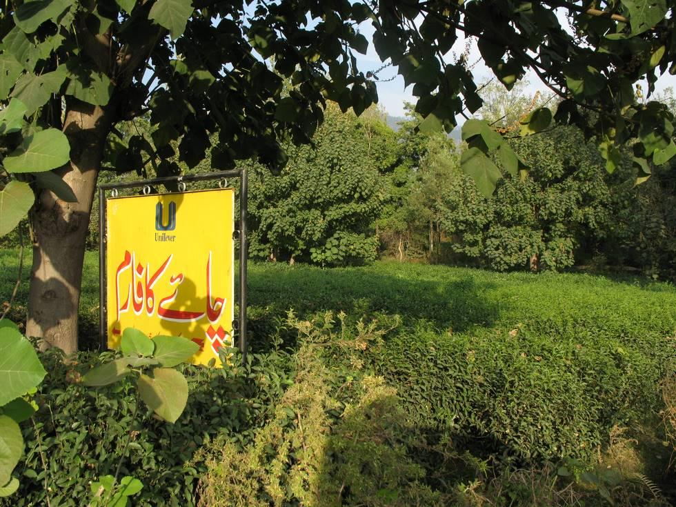 Tea garden in the Shinkiari Valley