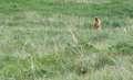 Marmot at Deosai