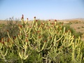 Cactus - flowering! They are not many, but in the area you do get to see them. The area is stony desert, not sandy desert.