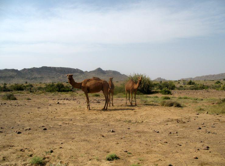 Camels - Sorh Valley, Baluchistan
